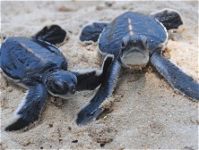 Baby turtles are released